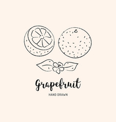 grapefruit fruit drawing sketch grapefruits on vector image