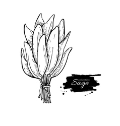 Sage bunch drawing Isolated sage leaves vector image vector image