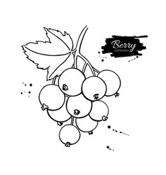 black or red currant drawing isolated vector image
