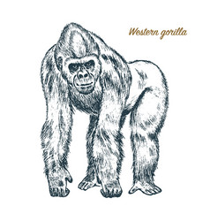 western or mountain gorilla big monkey or primate vector image