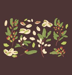 bundle elegant botanical drawings pistachio vector image