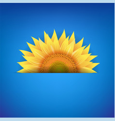 Yellow sunflower flower with blue background vector