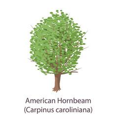 American hornbeam icon flat style vector
