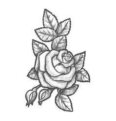 hand drawn buds and flower rose sketching vector image