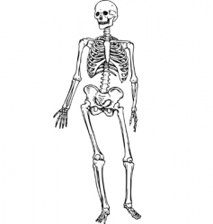 human skeleton vector image vector image