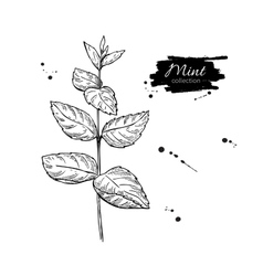 Mint drawing Isolated mint plant with vector image vector image