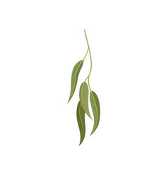 branch with green leaves willow eucalyptus or vector image