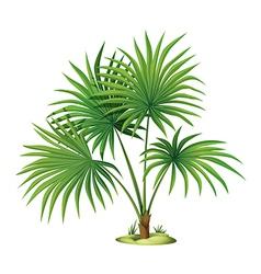 Washingtonia robusta vector image