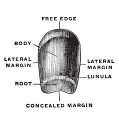 Fingernail vintage vector
