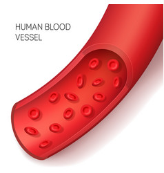 realistic detailed 3d human blood vessel card vector image