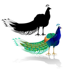 peacock on white background watercolor vector image