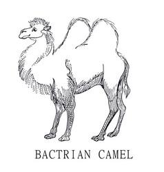 bactrian camel sketch of camelus vector image vector image