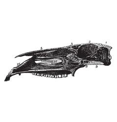 Longitudinal section of horse skull vintage vector