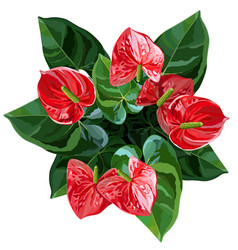 anthurium or flamingo flowers top view vector image