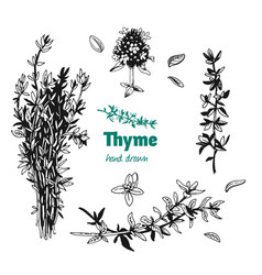 thyme leaves flowers and bunch hand drawn vector image