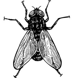 fly in engraved style vector image