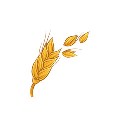 Spikelet of golden wheat with grains agricultural vector