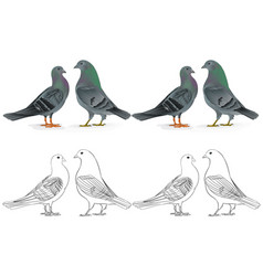 Border pigeons carriers domestic breeds vector