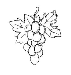 Bunch grapes vector