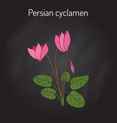 Cyclamen cyclamen persicum flowering plant vector