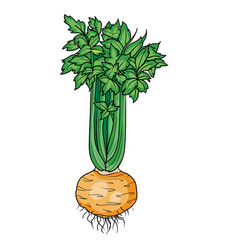 big bush ripe celery with big round root vector image