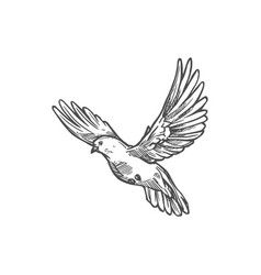 dove pigeon flying bird sketch vector image