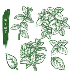 mint spice set peppermint spearmint sketch herbs vector image