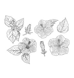 set of chinese hibiscus hand draw sketch vector image