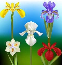 Iris Flower vector image