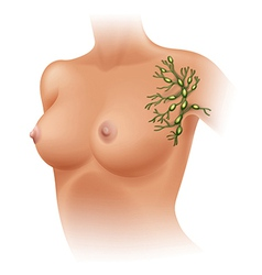Axillary lymph nodes vector