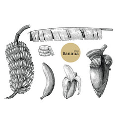 banana collection sets hand drawing vintage vector image