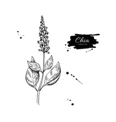 Chia plant superfood drawing isolated hand vector