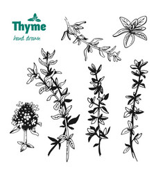 thyme twigs and flowers hand drawn vector image
