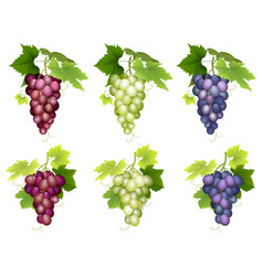 bunch of grapes different varieties vector image