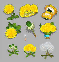 set of stages of life of a a dandelion flower vector image