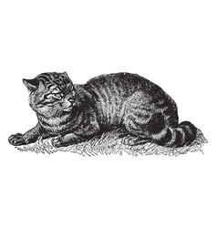 Wildcat vintage vector