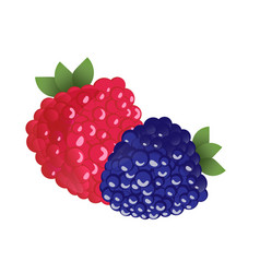 ripe raspberries and blackberries vector image