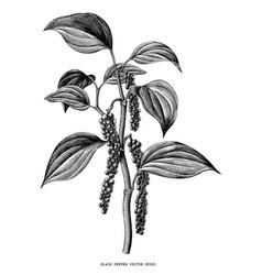 black pepper branch hand draw vintage clip art vector image