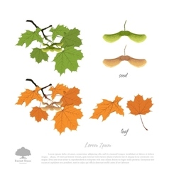 Branch seeds and leaves of maple vector image