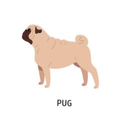 pug or dutch mastiff adorable funny purebred vector image