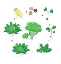 broccoli plant growth stages infographic elements vector image