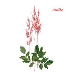Bright astilba vector image