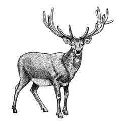 Engraving reindeer vector