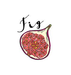the cut fruit of fig on a white background with vector image vector image