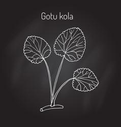 gotu kola - medicinal plant vector image