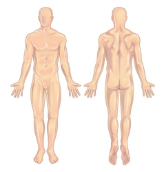 Male body Anterior-Posterior vector image