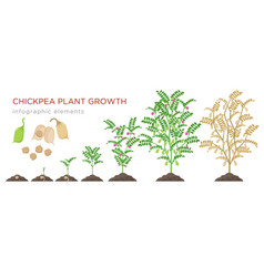 chickpea plant growth stages infographic elements vector image