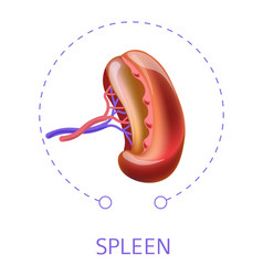 Spleen internal human body organ vector