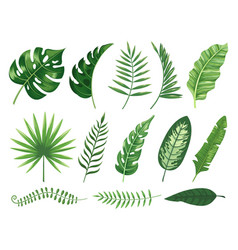 Exotic tropical leaves monstera plant leaf vector
