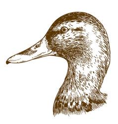 engraving of mullard duck head vector image